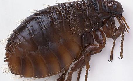 Kinds of Pests Fleas