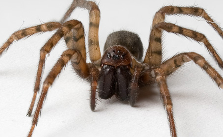 Kinds of Pests Spiders