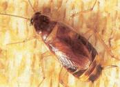 Eliminate cockroaches