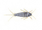 Image for silverfish removal - Silverfish Control Sydney
