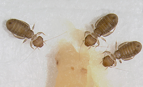 Image for Book Lice control Sydney - treatment and prevention