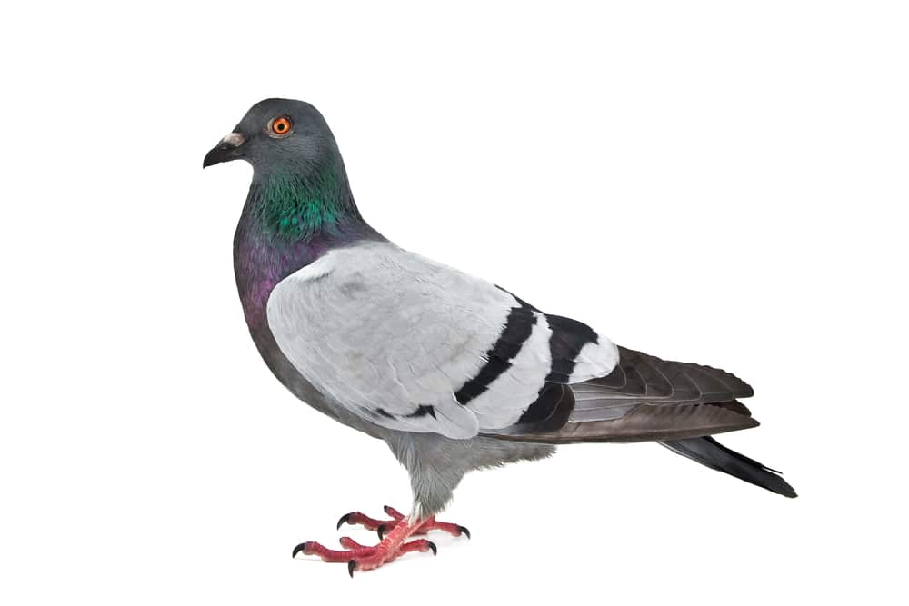Reliable Pigeon Removal in Sydney