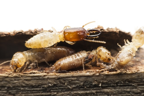 Investing on Termite Control in Sydney