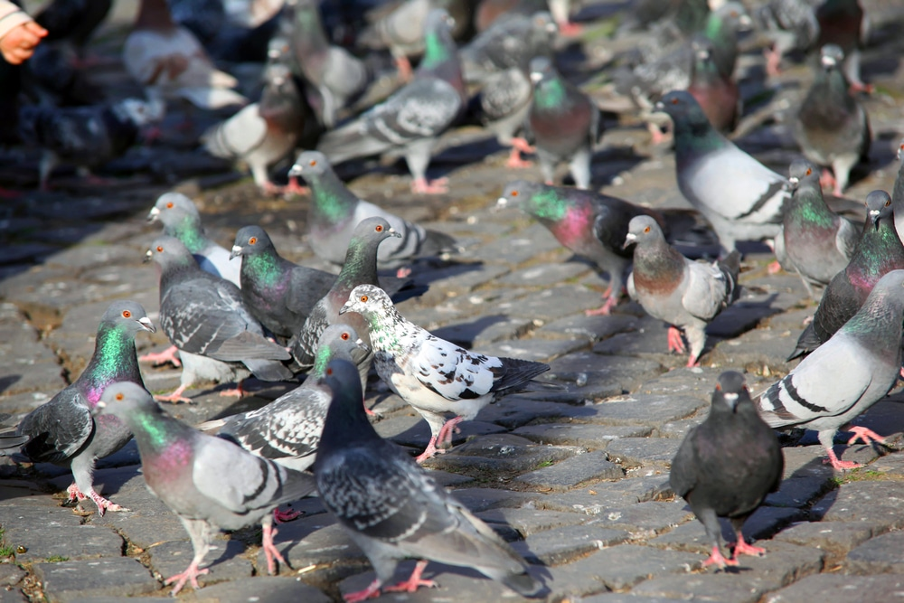 the challenge of pigeon removal in Sydney