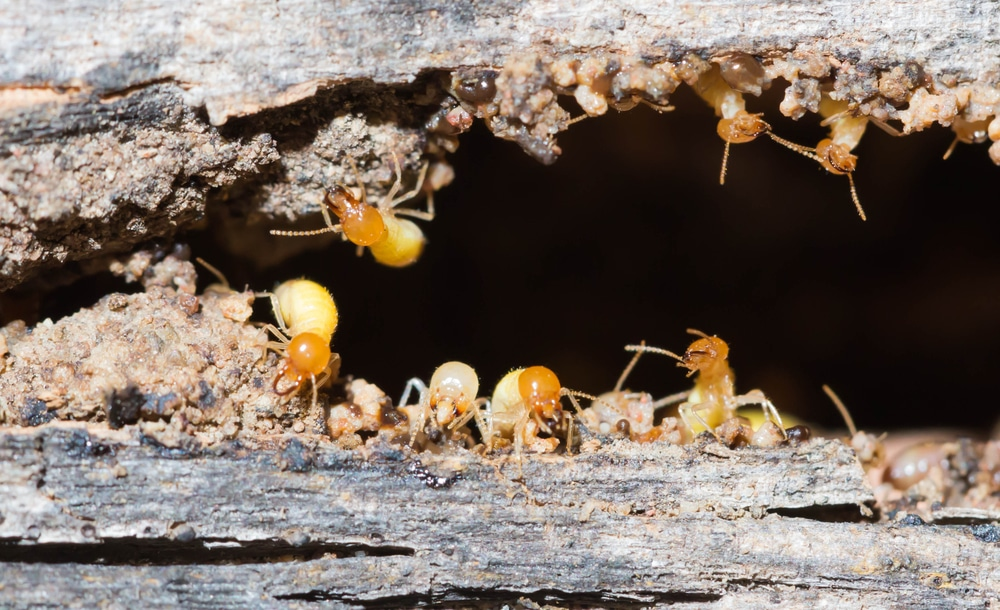 termites found during professional termite treatment