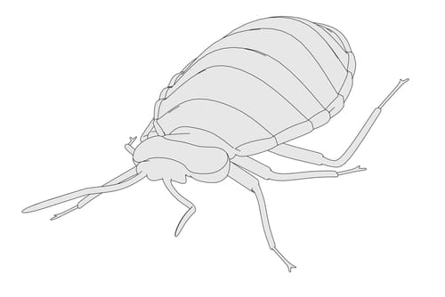 Undertaking Bed Bug Control in Sydney